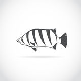 Vector image of an fish (Siamese tiger fish). On white background Stock Photos