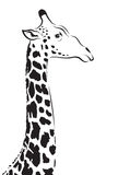 Vector image of an giraffe head. On white background Stock Photography