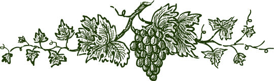 Grape branch. Vector image of a grapevine with a bunch of grape vector illustration