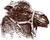 Camel head Royalty Free Stock Photo