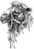 Camel. Vector image of the head of a pack camel royalty free illustration