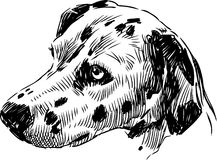 Head Dalmatians 2 Royalty Free Stock Image
