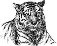 Head of tiger. Vector image of a head of a tiger Stock Photos