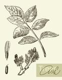 Vector image of leaves, flowers and fruits of ash. Vintage graphic  image of leaves, flowers and fruits of ash Stock Image
