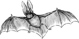 Bat. Vector image of the long-eared flying bat