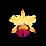 Vector image of orchid Royalty Free Stock Photos