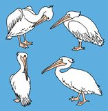 Vector image of pelicans in various poses stock photo