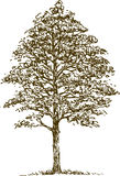 Deciduous tree. Vector image of a single deciduous tree royalty free illustration