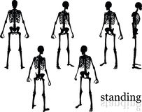 Vector Image - skeleton silhouette in standing pose  on white background Stock Images