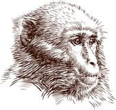 Monkey. Vector image of a sketch of the head of a monkey Royalty Free Stock Images