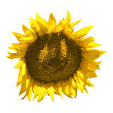 Vector image of a sunflower Stock Photos