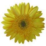 Vector image sunny bright yellow Barberton daisy (Gerbera jameso) Royalty Free Stock Image