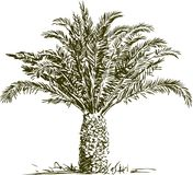 Date palm. Vector image of a tropical palm stock illustration