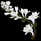 Vector image. Tuberose - branches. Medicinal, perfumery and cosmetic plants. Wallpaper. Use printed materials, signs, posters, pos. Tcards, packaging Royalty Free Stock Photo