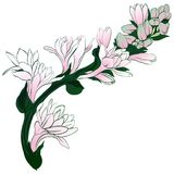 Vector image. Tuberose - branches. Medicinal, perfumery and cosmetic plants. Wallpaper. Use printed materials, signs, posters, pos. Tcards, packaging Stock Photos