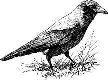 Crow. The vector image of a walking crow royalty free illustration