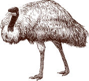 Emu. Vector image of a walking emu royalty free illustration