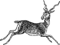 Running antelope Royalty Free Stock Images