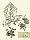 Vector a imagem das folhas, das flores e dos frutos do olmo Imagens de Stock Royalty Free