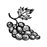 Vector ink drawing grape
