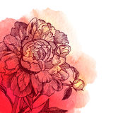 Vector ink drawn peony on red watercolor Stock Photography