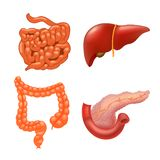 Vector internal organs icon set. Human reproductive system. Realistic vector illustration vector illustration