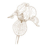 Vector iris. Vector illustration with iris in vintage engraving style Royalty Free Stock Images