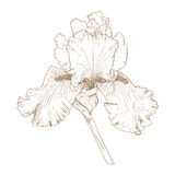 Vector iris. Vector illustration with iris in vintage engraving style Stock Photos