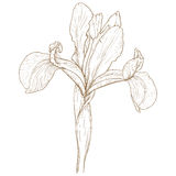 Vector iris. Vector illustration with iris in vintage engraving style Stock Image