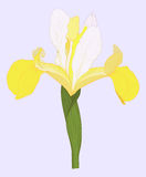 Vector iris. Stock Photography