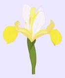Vector iris. Vector illustration greeting card with yellow iris Stock Photography