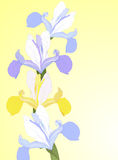 Vector iris. Vector greeting card with blue and yellow iris Royalty Free Stock Images