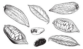 Vector isolated cocoa beans on white background Royalty Free Stock Photography