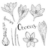 Vector card with crocuses vector illustration