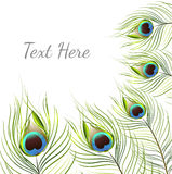 Vector isolated peacock feather background Royalty Free Stock Photos