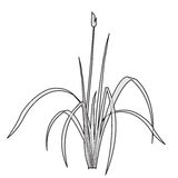 Vector isolated reed. Outlined water plant. Royalty Free Stock Images