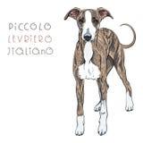 Vector Italian Greyhound Dog breed Stock Photography