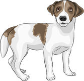 Vector Jack Russell Terrier Royalty Free Stock Image