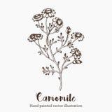 Vector Kamillenblumen-Skizzenillustration auf weißem Hintergrund Naturhand gezeichnet Lizenzfreie Stockbilder
