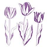Vector l'illustrazione dei tulipani Fotografia Stock Libera da Diritti