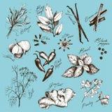 Vector la colección de especias y de hierba dibujadas mano de la tinta Fotografía de archivo libre de regalías