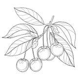 Vector la rama con la cereza, el manojo, la baya madura y las hojas del esquema en negro aislados en el fondo blanco Fotos de archivo libres de regalías