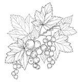 Vector la rama con la grosella negra del esquema, el manojo, la baya y las hojas aislados en el fondo blanco Elemento floral con  ilustración del vector