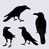 Vector la siluetta dell'corvi nelle posizioni differenti Immagine Stock Libera da Diritti