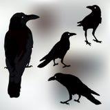 Vector la siluetta dell'corvi nelle posizioni differenti Profilo di vettore Fotografia Stock Libera da Diritti