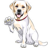 Vector Labrador smiles and gives a paw. Vector Yellow cheerful dog breed Labrador Retriever smiles and gives a paw Royalty Free Stock Image
