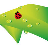 Vector lady bug. Lady bug and water drops on plant isolated over white background Stock Photography