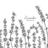 Vector lavender hand drawn illustration. Lavender for traditional medicine design, natural and organic products. vector illustration
