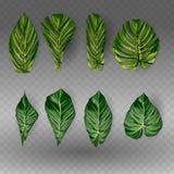 Vector le foglie tropicali esotiche, insieme del fogliame della giungla isolato su fondo bianco Stile variopinto piano Immagine Stock Libera da Diritti