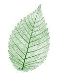 Vector leaf isolated. Royalty Free Stock Photo